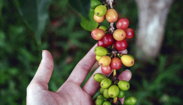 Leyendas fantásticas sobre el origen del café