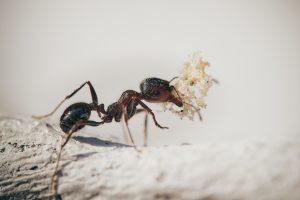 Las hormigas pueden detectar un patógeno antes de tener síntomas. Imagen: Pixabay