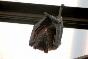 El sueño largo es señal de enfermedad en los murciélagos. Imagen: Pixabay