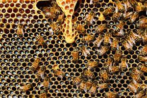 Las abejas pueden expulsar a los enfermos de la colmena. Imagen. Pixabay