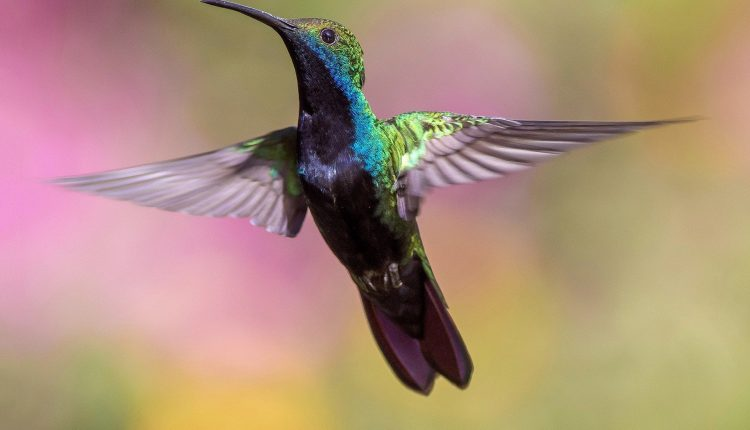 ¿Por qué zumban las alas de los colibríes?