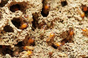 Las termitas envían señales a sus compañeras de comunidad. Imagen: Pixabay