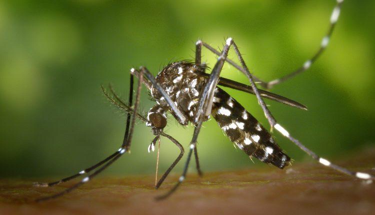 Bill Gates financió la liberación de mosquitos modificados genéticamente