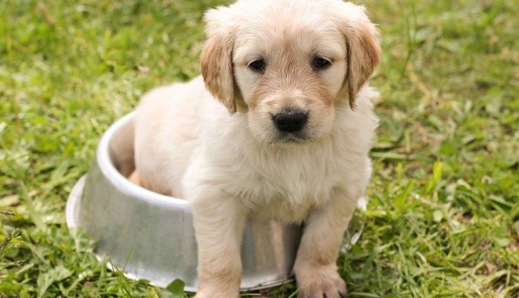 Los cachorros nacen listos para comunicarse con nosotros, según un estudio